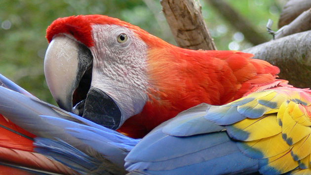 A scarlet macaw, one of dozens that fly freely and live at the site, is preening its feathers. With its bright yellow, red, and blue feathers and graceful flight, the Macaw is a fitting symbol of the Sun. &nbsp;<span class='italic'>Photo Credit:&nbsp;Tepeu Roberto Poz Salanic</span>