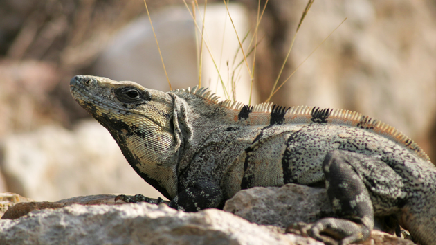 "<a href='#' class='glossary-tip' title=""Reptile native of tropical areas of México and Central America."">Iguanas</a> abound, are caught, and eaten. &nbsp;<span class='italic'>Photo Credit:&nbsp;Ideum/UC Regents</span>"