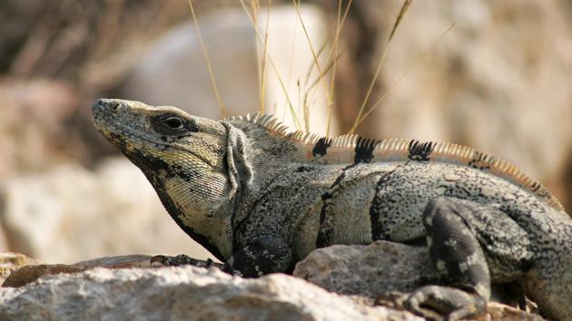 Las iguanas abundan; las atrapan y se las comen.&nbsp;<span class='italic'>Crédito de imagen:&nbsp;Ideum/UC Regents</span>