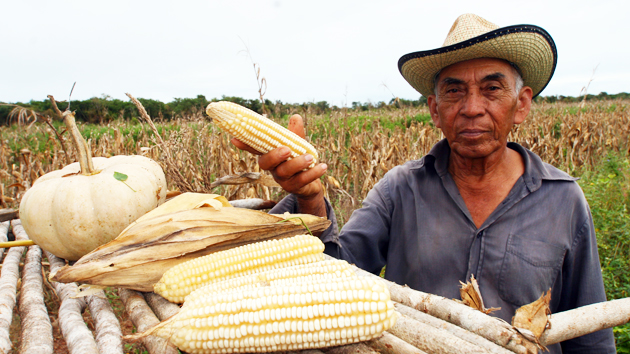 "Don Hernán displays his harvest of corn and squash from the family <a href='#' class='glossary-tip' title=""An ancient system of sustainable agriculture used throughout Mesoamerica that produces maize, beans, and squash, sometimes complemented with chiles."">milpa</a>. The ears of corn rest on an altar where he places offerings of <a href='#' class='glossary-tip' title=""An offering of corn that is used during Maya ceremonies to petition for rain in the Yucatán peninsula."">Sac Ha'</a>. The offering is for the ""<a href='#' class='glossary-tip' title=""Spirit of the Earth, the Mesoamerican belief that all things have spirit, including the Earth."">owners of the milpa</a>,"" called ""<a href='#' class='glossary-tip' title=""Aluxo'ob (plural of Alux) is the name given to mythical ""goblins"" or spirits in the Maya tradition of the Yucatán Peninsula. They are small forest dwellers who guard the corn fields."">aluxo'ob</a>"" in Mayan.&nbsp;<span class='italic'>Photo Credit:&nbsp;José Huchim Herrera</span>"