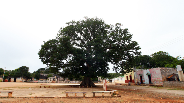 "A <a href='#' class='glossary-tip' title=""A large tree found in tropical areas including Mesoamerica. In Maya tradition, the ceiba tree connects the planes of the Underworld, the terrestrial realm, and the skies."">ceiba</a>, several hundred years old, stands at the center of San Simón, a village of 500 people under the political structure of Santa Elena.  Maya spaces are traditionally defined by the relationship between Earth and sky and the four cardinal directions. In Maya cosmology, the ceiba is the <a href='#' class='glossary-tip' title=""The ""World Axis,"" is a concept and symbol found in many cultures. The idea expresses a vertical connection between the Earth and the sky."">axis mundi</a>, or <a href='#' class='glossary-tip' title=""Also called ""axis mundi,"" is a symbol present in many cultures, which expresses the connection between the Earth and the sky."">world tree</a>, that connects Earth and sky. &nbsp;<span class='italic'>Photo Credit:&nbsp;José Huchim Herrera</span>"