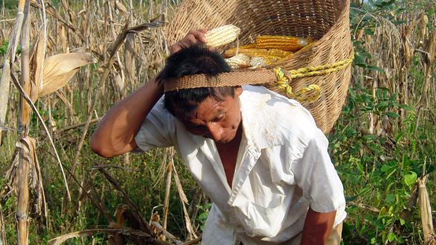 """Don Porfirio Colli de San Simón cosecha maíz en su <a href='#' class='glossary-tip' title=""""Un sistema de agricultura ecológica mesoamericano que produce maíz, frijol y calabaza, que son a veces complementados por el chile."""">milpa</a>.&nbsp;<span class='italic'>Crédito de imagen:&nbsp;José Huchim Herrera</span>"""