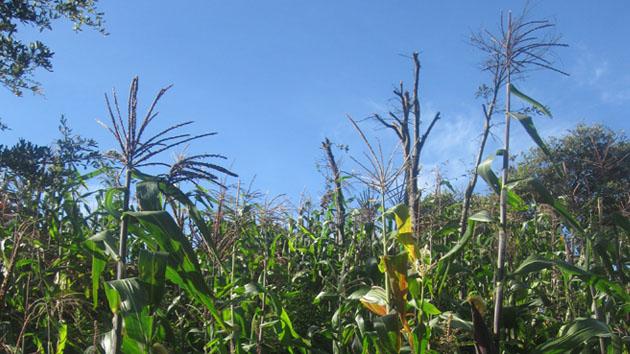 Tierra fértil y maíz negro maduro.&nbsp;<span class='italic'>Crédito de imagen:&nbsp;Isabel Hawkins</span>